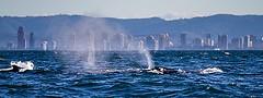 11354006645_f749547aba_m_whales-gold-coast