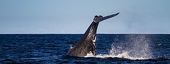 11354189593_be9e4ac252_m_whales-gold-coast