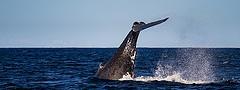 11354189593_be9e4ac252_m_whales-gold-coast